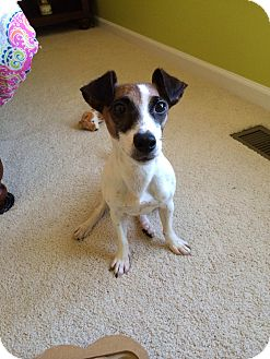 Jack Russell Terrier Dog for adoption in Blue Bell, Pennsylvania - Layla