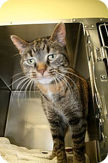 Domestic Shorthair Cat for adoption in Jackson, New Jersey - Daisy