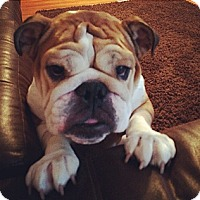 Adopt A Pet :: Molly - Decatur, IL