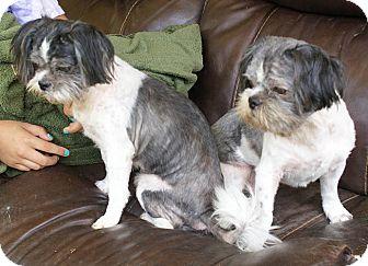 Shih Tzu Mix Dog for adoption in Allentown, Pennsylvania - Joey & Zoey