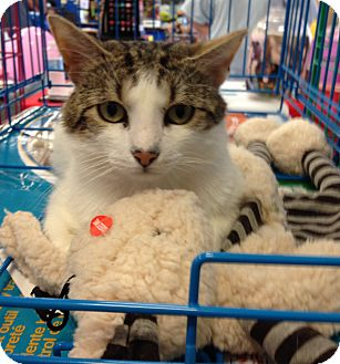 Domestic Mediumhair Cat for adoption in Redwood, Mississippi - Gino