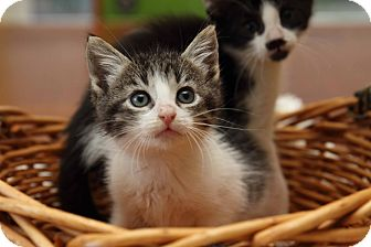 Domestic Shorthair Kitten for adoption in Gainesville, Virginia - Banquo