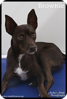 Miniature Pinscher/Fox Terrier (Smooth) Mix Dog for adoption in Rockwall, Texas - Brownie
