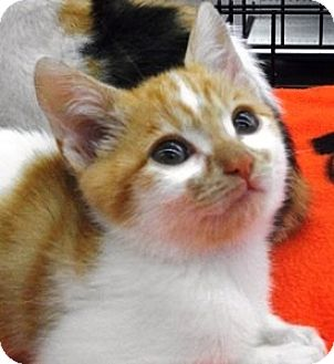 Domestic Shorthair Kitten for adoption in Castro Valley, California - Buster