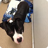 Adopt A Pet :: Bonaduce - Gilbert, AZ