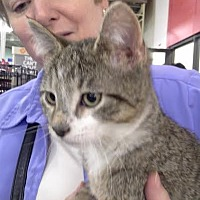 Domestic Shorthair Cat for adoption in Columbus, Ohio - Buddy