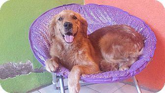 Golden Retriever Mix Dog for adoption in San Diego, California - Frida