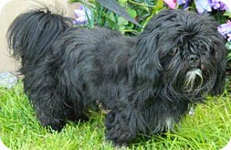 Shih Tzu Mix Dog for adoption in Columbus, Nebraska - Chipper