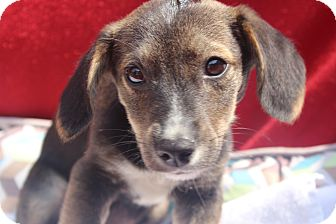 Wirehaired Fox Terrier Mix Puppy for adoption in Waldorf, Maryland - Xabin