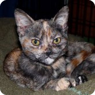 American Shorthair Kitten for adoption in San Andreas, California - Molly