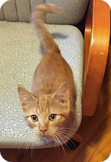 Domestic Shorthair Kitten for adoption in Troy, Michigan - Jester