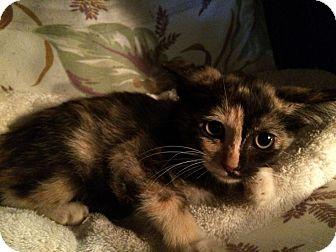 Calico Kitten for adoption in Metairie, Louisiana - Sassy