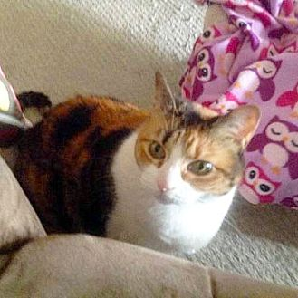 Domestic Shorthair Cat for adoption in Arlington/Ft Worth, Texas - Oz