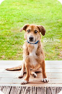 Corgi Mix Dog for adoption in Cincinnati, Ohio - Juliet