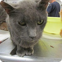 Domestic Shorthair Cat for adoption in Grand Junction, Colorado - Chaucer