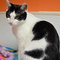 Domestic Shorthair Cat for adoption in Atlanta, Georgia - Skylar 14186