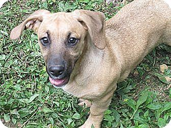 Basset Hound/Labrador Retriever Mix Puppy for adoption in Harrisonburg, Virginia - Lexi