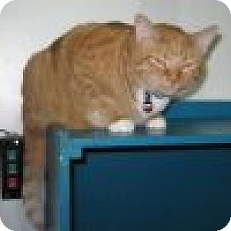 Domestic Shorthair Cat for adoption in Powell, Ohio - Cosmo