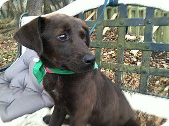 Australian Shepherd/Labrador Retriever Mix Puppy for adoption in Boerne, Texas - Harmony