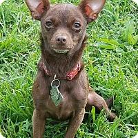 Adopt A Pet :: Darling - Dallas, TX