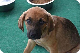 Hound (Unknown Type) Mix Puppy for adoption in Athens, Alabama - Nora