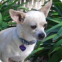 Adopt A Pet :: Holly - Vacaville, CA