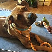 Labrador Retriever/Boxer Mix Dog for adoption in Minneapolis, Minnesota - Rosie