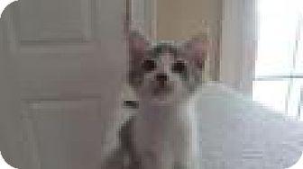 Domestic Shorthair Kitten for adoption in Patterson, New York - David