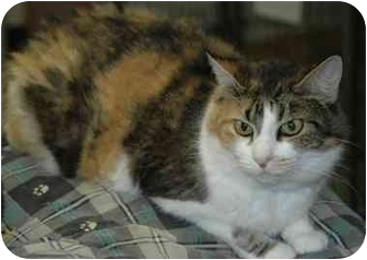 Calico Cat for adoption in Pendleton, Oregon - Gabby
