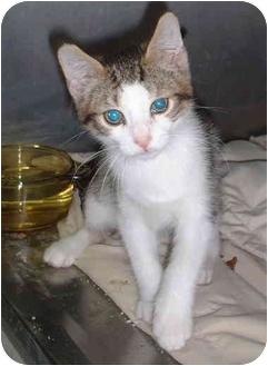 Domestic Shorthair Kitten for adoption in Honesdale, Pennsylvania - Jester