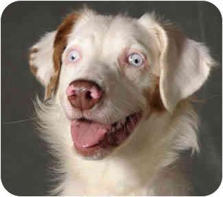 Australian Shepherd Dog for adoption in Chicago, Illinois - Raine