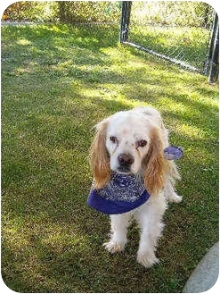 Cavalier King Charles Spaniel Dog for adoption in spring valley, California - jake