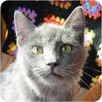 Russian Blue Cat for adoption in Lexington, Missouri - Victor