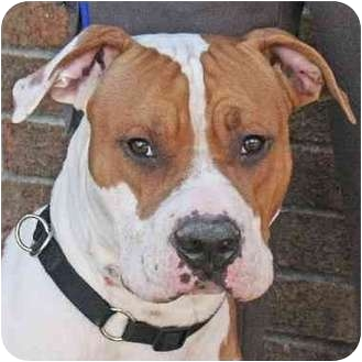 Pit Bull Terrier Mix Dog for adoption in Teterboro, New Jersey - Rocky