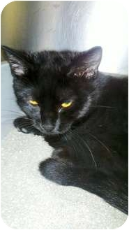 Domestic Shorthair Cat for adoption in Richboro, Pennsylvania - Alfabeto