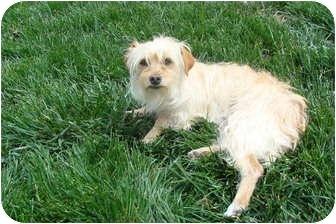 Terrier (Unknown Type, Small)/Maltese Mix Dog for adoption in Tustin, California - Nana