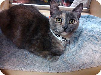 Domestic Shorthair Kitten for adoption in Worcester, Massachusetts - Kina