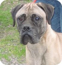 Bullmastiff Dog for adoption in Roy, Washington - Gordon