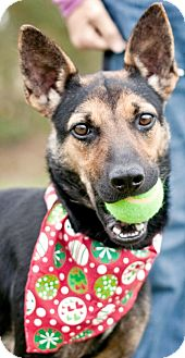 German Shepherd Dog Mix Dog for adoption in Portsmouth, Rhode Island - Jackie-local!