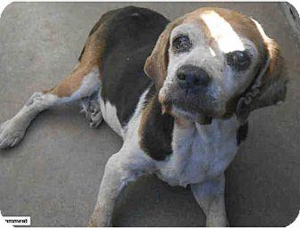 Beagle/Cocker Spaniel Mix Dog for adoption in Creston, California - Mari