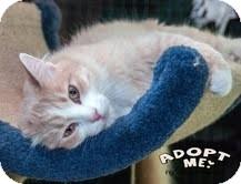 Domestic Mediumhair Cat for adoption in Okotoks, Alberta - Icicle