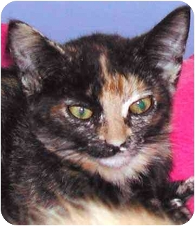 Domestic Shorthair Kitten for adoption in Rolling Hills Estates, California - Tilly