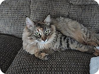 Domestic Shorthair Cat for adoption in Aylmer, Ontario - Merida