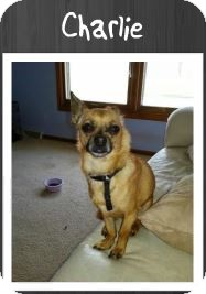 Chihuahua/Pomeranian Mix Dog for adoption in Grand Rapids, Michigan - Charlie