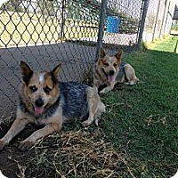 Adopt A Pet :: Dex/Dame - Weatherford, TX
