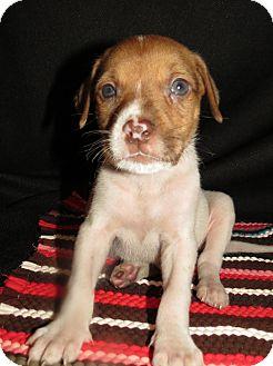 Labrador Retriever/American Bulldog Mix Puppy for adoption in Middleburg, Florida - Presley