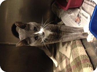 Domestic Shorthair Cat for adoption in Whitestone, New York - Tiny Tim