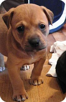 Shepherd (Unknown Type) Mix Puppy for adoption in Starkville, Mississippi - London