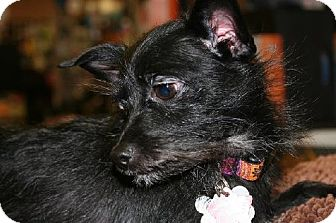 Yorkie, Yorkshire Terrier/Jack Russell Terrier Mix Puppy for adoption in London, Ontario - Steve