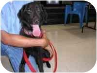 Retriever (Unknown Type)/Border Collie Mix Dog for adoption in Glen Allen, Virginia - Katie
